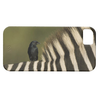 Fork-Tailed Drongo (Dicrurus adsimilis) riding Barely There iPhone 5 Case