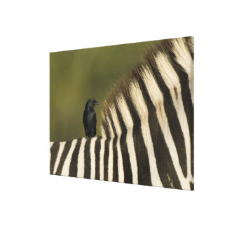 Fork-Tailed Drongo (Dicrurus adsimilis) riding Canvas Print