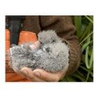 Fork-tailed Storm-Petrel chick, Ulak Island Postcard