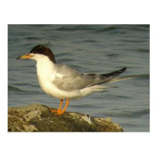 Forster's Tern Postcard