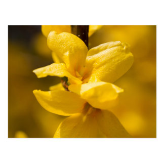 forsythia in the garden postcard