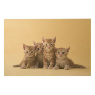 Four American Shorthair Kittens Wood Print