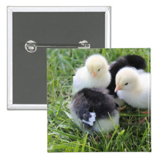 Four Black and Yellow Baby Chicken chicks 15 Cm Square Badge