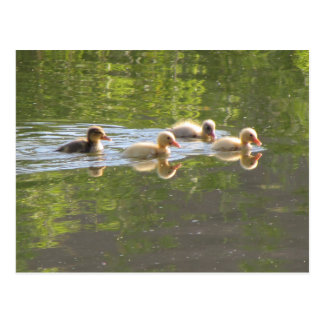 Four Ducklings Swimming Postcard