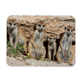 four funny meerkat or suricate, Kalahari Rectangular Magnet