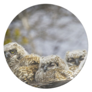 Four Great Horned Owl (Bubo Virginianus) Chicks Plate