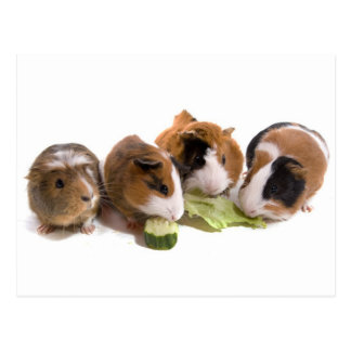 four guinea pigs who eat carte postale