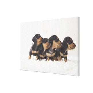Four Mini Dachshund Canvas Print