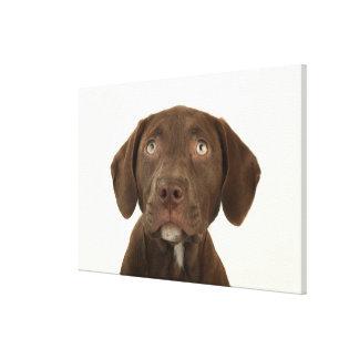 Four-Month-Old Chocolate Lab Puppy Portrait Canvas Print