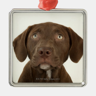 Four-Month-Old Chocolate Lab Puppy Portrait Christmas Ornament