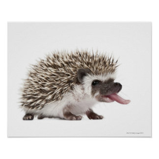 Four-toed Hedgehog - Atelerix albiventris Poster