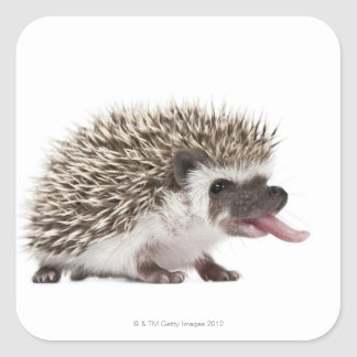 Four-toed Hedgehog - Atelerix albiventris Square Sticker