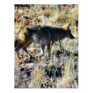 Fox Coyotes Wild Anilmal In Field Postcard