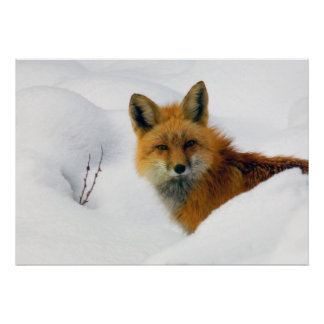 fox in rocky mountain national park poster
