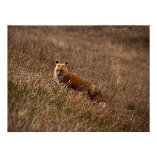 Fox in the Grass Photo