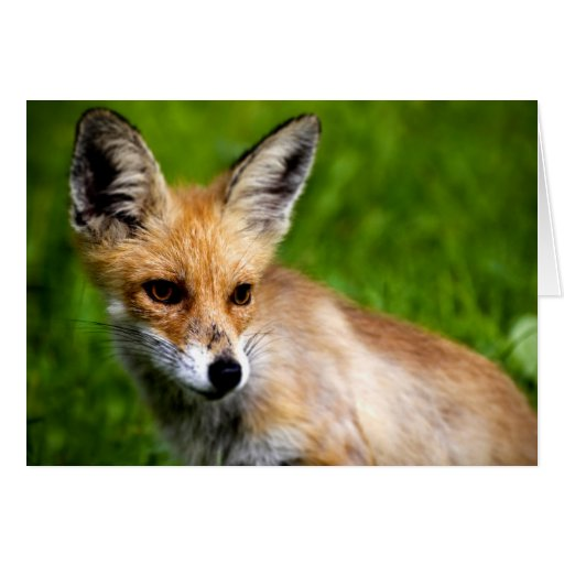 Fox pup greeting cards