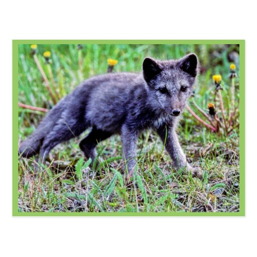 Fox Pup Postcard