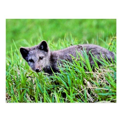 Fox Pup Post Card