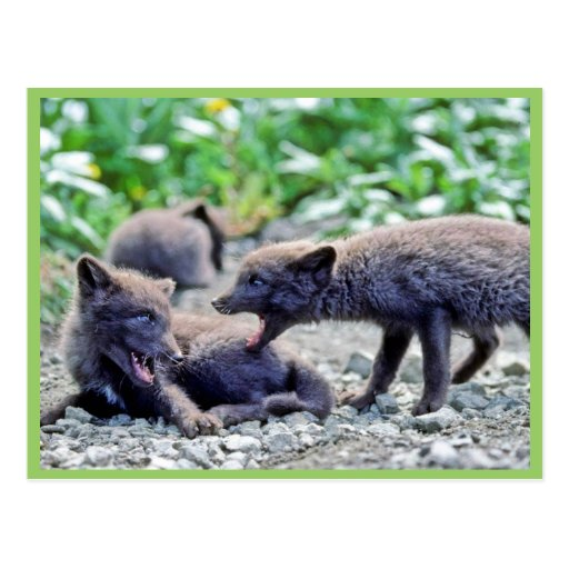 Fox Pups Postcard