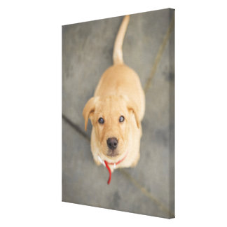 Fox Red Labrador Puppy 2 Canvas Print
