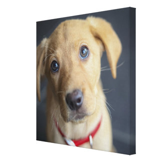 Fox Red Labrador Puppy Canvas Print