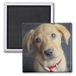 Fox Red Labrador Puppy Square Magnet