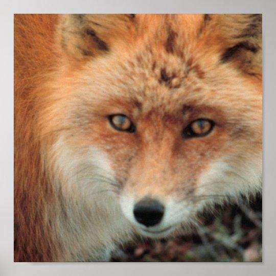 Fox Species Poster