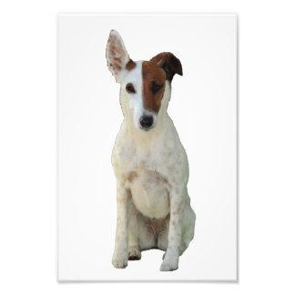 Fox Terrier Smooth dog beautiful portrait photo