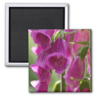 Foxgloves Square Magnet