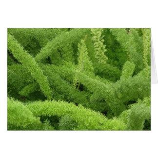 Foxtail Fern, Asparagus densiflorus myers Card