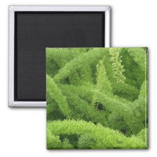 Foxtail Fern, Asparagus densiflorus myers Magnet