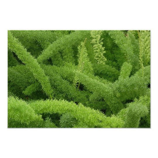 Foxtail Fern, Asparagus densiflorus myers Poster