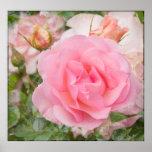 Fragrant Cloud Rose Print