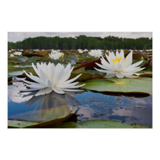 Fragrant Water Lily (Nymphaea Odorata) On Caddo Poster