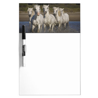 France, Camargue. Horses run through the 2 Dry Erase Board