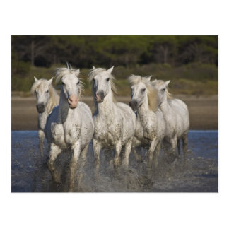 France, Camargue. Horses run through the 2 Postcard
