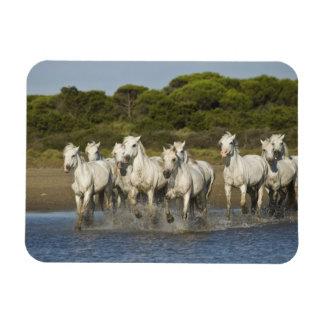France, Camargue. Horses run through the estuary 3 Magnet