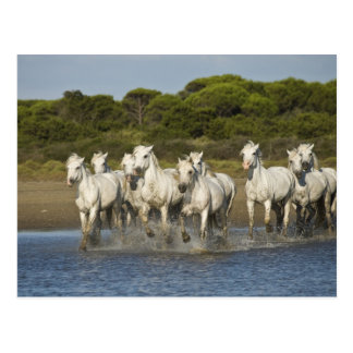 France, Camargue. Horses run through the estuary 3 Postcard
