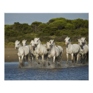 France, Camargue. Horses run through the estuary 3 Poster