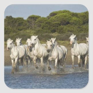 France, Camargue. Horses run through the estuary 3 Square Sticker