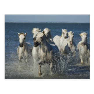 France, Camargue. Horses run through the estuary 4 Postcard
