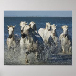 France, Camargue. Horses run through the estuary 4 Poster
