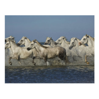 France, Camargue. Horses run through the estuary 5 Postcard