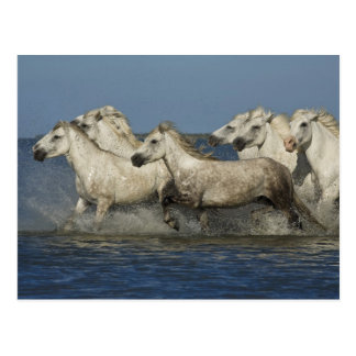 France, Camargue. Horses run through the estuary Postcard