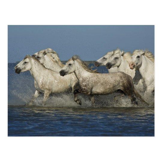 France, Camargue. Horses run through the estuary Postcard