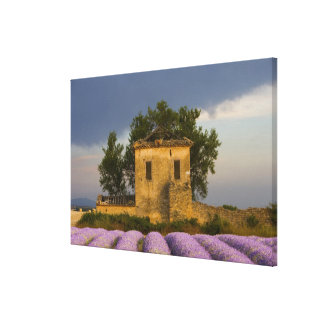 France, Provence. Field of lavender and Canvas Print