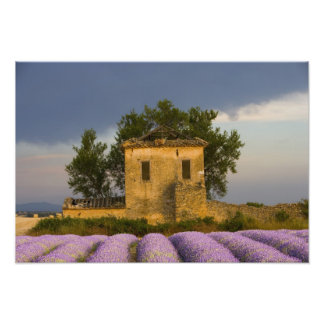 France, Provence. Field of lavender and Photo Print