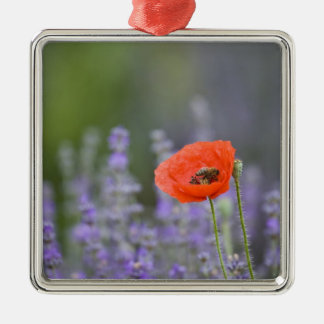 France, Provence. Lone poppy in field of Christmas Ornament