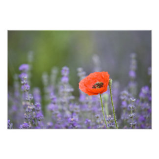 France, Provence. Lone poppy in field of Photo Print