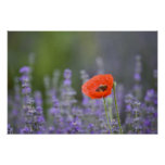 France, Provence. Lone poppy in field of Print